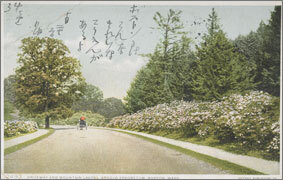 絵葉書:Driveway and Mountain Laurel, Arnold Arboretum, Boston, Mass.
